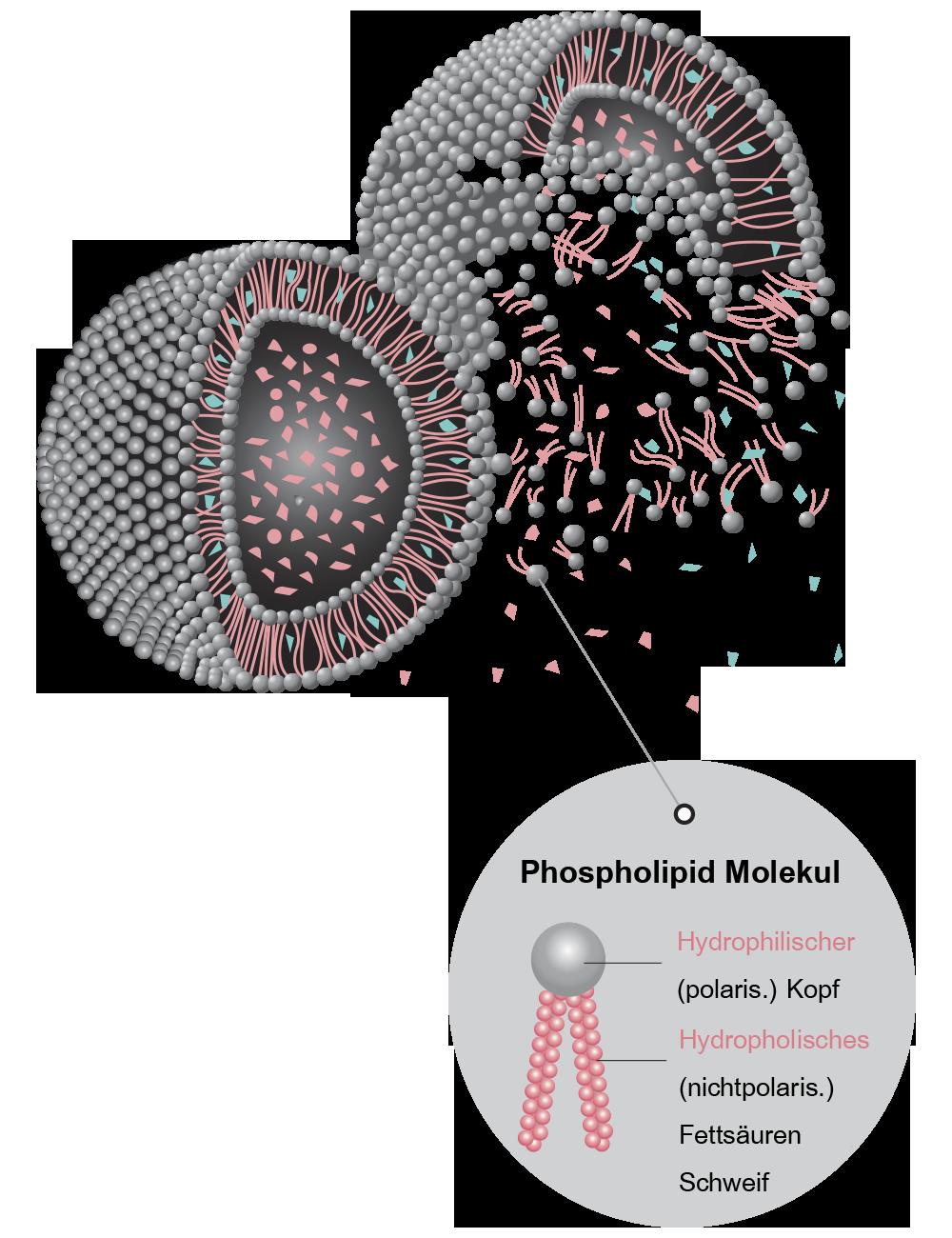 Phospholid Molekul