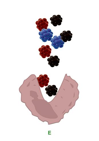 macrophag-2-phagozytose-der-tattoo-farbe-tattooentfernung-berlin-avederma